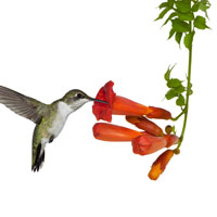 Hummingbird Vine