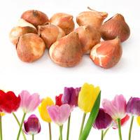 Paradise Tulips